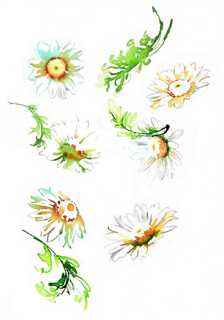 Illustration Flora Sainsburys Chamomile Tea Packaging Watercolour
