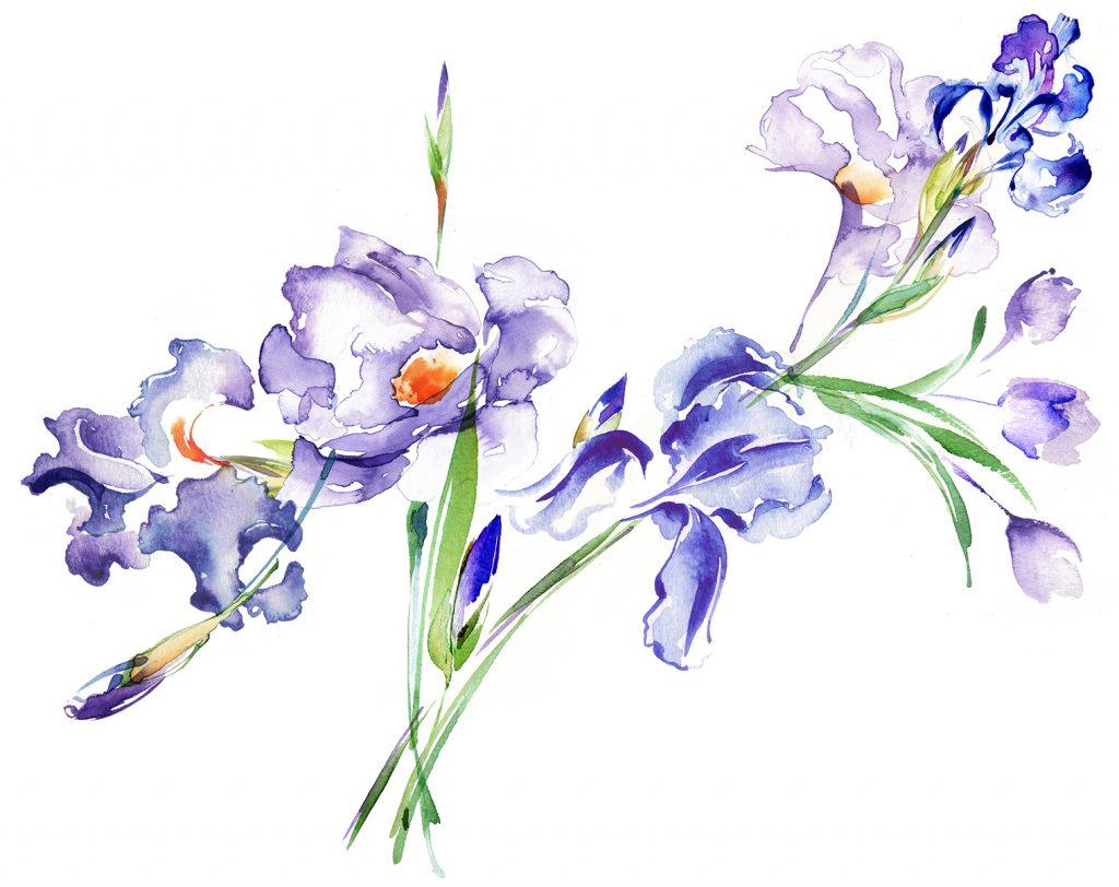 Illustration Flora Yellowglen Wines Iris Packaging Watercolour