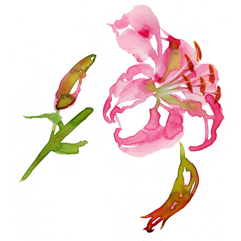 Illustration Flora Tiger Lilly Packaging Watercolour